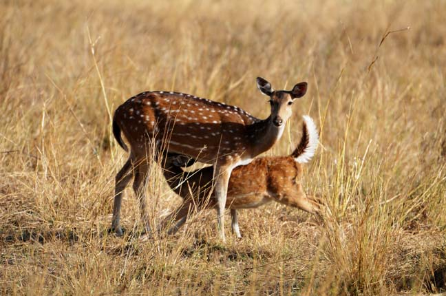 chital_mother