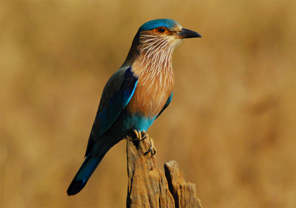 indian_roller_bandhavgarh