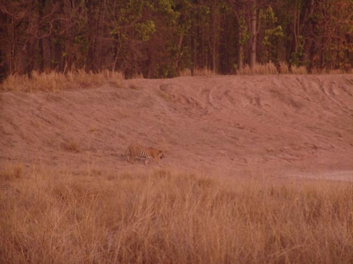 The tiger - Bokha