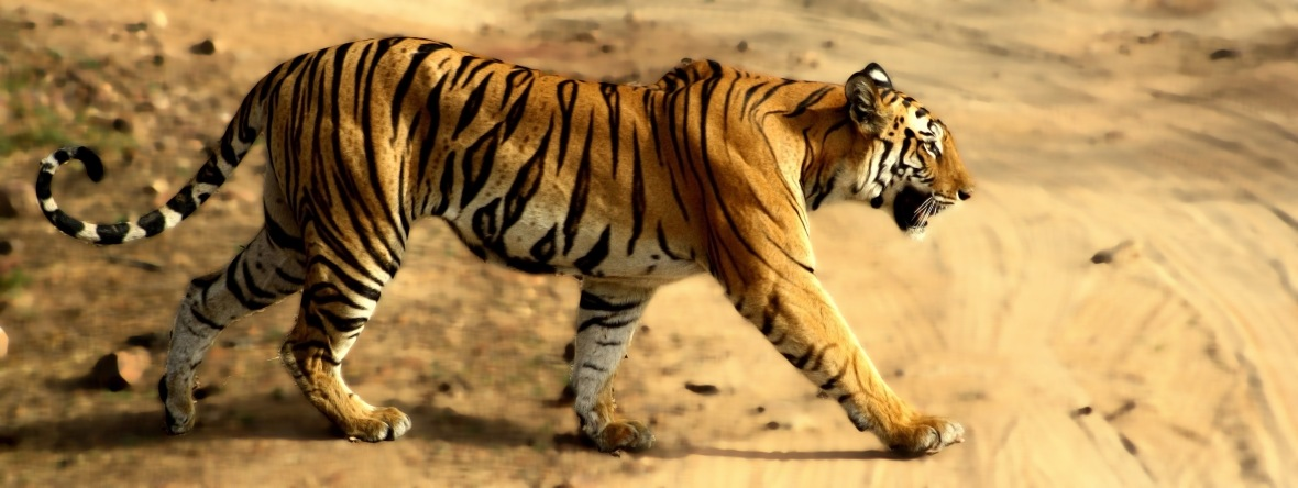tigress_in_bandhavgarh_np1