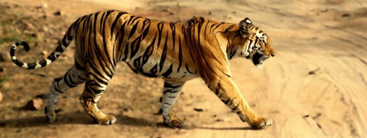 tigress_in_bandhavgarh_np1